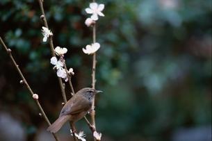 梅にウグイス 2月の写真素材 [FYI03201873]