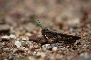 イボバッタ(雄) 10月の写真素材 [FYI03201877]