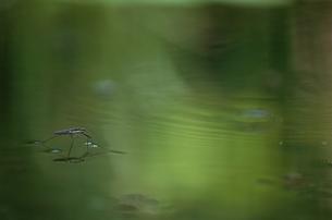 水面に浮かぶアメンボ 8月 豊中市 大阪の写真素材 [FYI03201880]