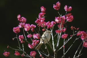 梅とウグイスの写真素材 [FYI03201926]