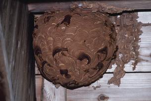 キイロスズメバチの巣の写真素材 [FYI03201957]