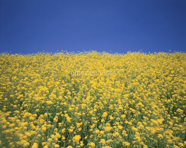 菜の花畑 栃木県の写真素材 [FYI03202128]