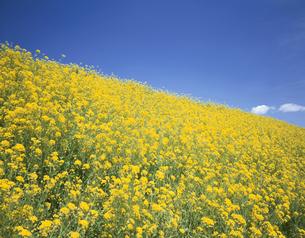 菜の花畑の写真素材 [FYI03202129]