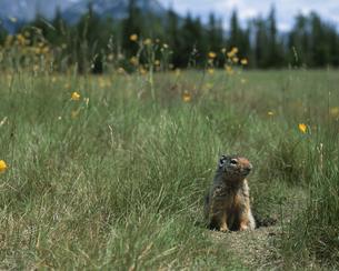 草原にたたずむグランドスクワラル バンフ カナダの写真素材 [FYI03202139]