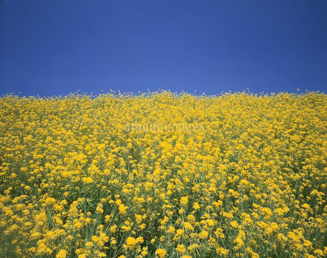菜の花畑の写真素材 [FYI03202140]