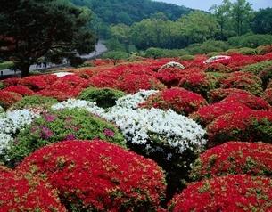 小室山公園のツツジ  伊東市 静岡県の写真素材 [FYI03202168]