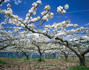 ナシの花の写真素材 [FYI03202191]