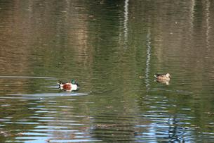 ハシビロガモ 左♂ 右♀の写真素材 [FYI03202565]