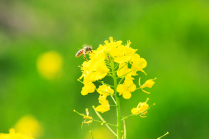 ナノハナの花粉を集めるセイヨウミツバチの写真素材 [FYI03202894]