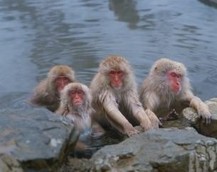 地獄谷の猿   長野県の写真素材 [FYI03203294]