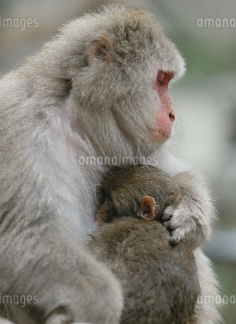 抱き合うサルの親子 地獄谷 長野県の写真素材 [FYI03203327]