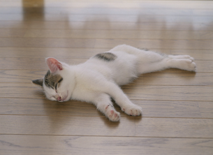 横向きで眠る仔猫の写真素材 [FYI03203351]
