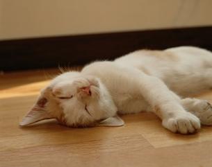 寝そべるネコの写真素材 [FYI03203389]
