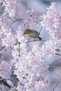 桜にとまる鳥(メジロ) 3月 文京区 東京都の写真素材 [FYI03203414]