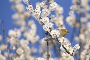 白梅にとまる鳥(メジロ) 2月 文京区 東京都の写真素材 [FYI03203415]