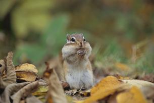 ドングリを食べるエゾシマリスと落ち葉 北海道の写真素材 [FYI03203420]