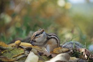 ドングリを食べるエゾシマリスの写真素材 [FYI03203421]