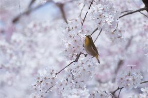 満開の桜とメジロの写真素材 [FYI03203431]