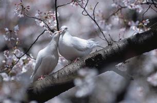 2羽のシロハトと桜の写真素材 [FYI03203433]