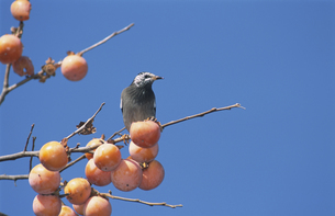柿の木にとまるとムクドリの写真素材 [FYI03203489]