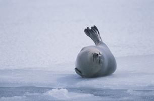 結氷した港のゴマフアザラシの写真素材 [FYI03203514]