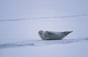 結氷した港のゴマフアザラシの写真素材 [FYI03203515]