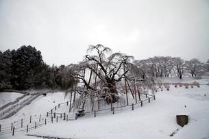 冬の三春滝桜の写真素材 [FYI03203596]