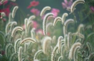 複数はえたエノコログサ 9月 山中湖村 山梨県の写真素材 [FYI03203693]