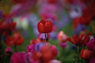 アネモネの花 4月 調布市 東京都の写真素材 [FYI03203695]