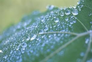 葉についた水滴 6月 高根町 山梨県の写真素材 [FYI03203735]