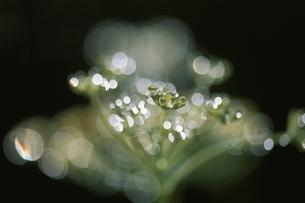 植物についた水滴 6月 高根町 山梨県の写真素材 [FYI03203737]
