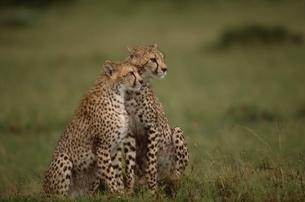 見つめる2頭のチーター マサイマラ ケニアの写真素材 [FYI03203813]