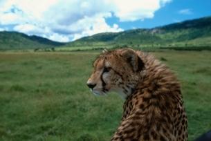 草原で振り向く1匹のチーター マサイマラ ケニアの写真素材 [FYI03203814]