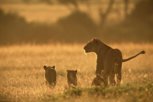 草原を歩くライオンの親子の後姿 マサイマラ ケニアの写真素材 [FYI03203817]