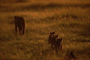 草原を歩くライオンの親子のシルエット マサイマラ ケニアの写真素材 [FYI03203818]