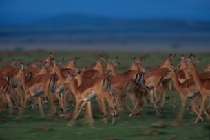 草原を走るインパラの群れ マサイマラ ケニアの写真素材 [FYI03203821]