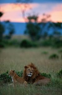 ライオンの写真素材 [FYI03203824]