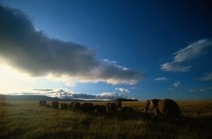 アフリカゾウの写真素材 [FYI03203826]