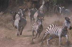 走るシマウマ マサイマラ国立公園 ケニヤの写真素材 [FYI03203829]