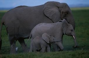 ゾウの親子 ケニアの写真素材 [FYI03203830]