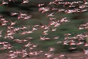 LESSER FLAMINGO ボゴリア湖NP ケニアの写真素材 [FYI03203835]