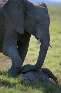 戯れるゾウの親子 アンボセリ ケニアの写真素材 [FYI03203838]