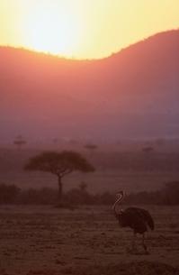 ダチョウと朝日    ケニアの写真素材 [FYI03203842]