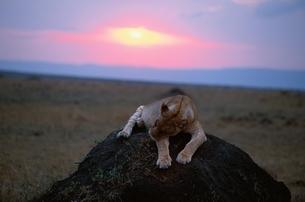 ライオンと夕日の写真素材 [FYI03203846]