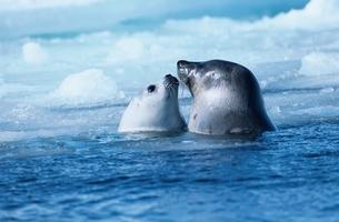 タテゴトアザラシの親子 セントローレンス湾 カナダの写真素材 [FYI03203852]