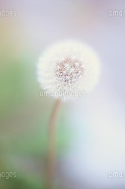 タンポポの綿毛のアップの写真素材 [FYI03203882]
