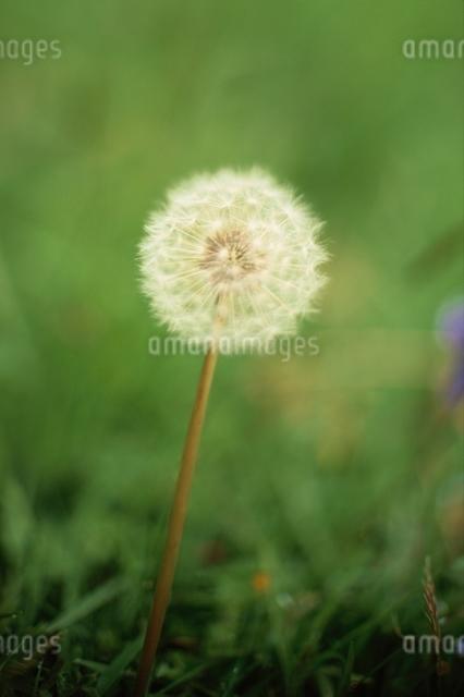 綿毛の写真素材 [FYI03203909]