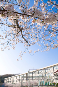 桜と校舎の写真素材 [FYI03204318]