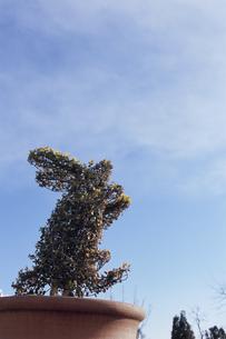 ウサギの形に刈った鉢植えと青空の写真素材 [FYI03204702]