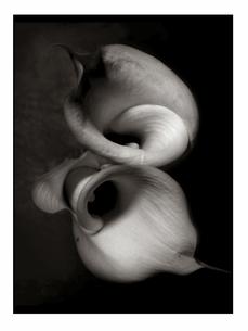 カラーの花 B/Wの写真素材 [FYI03206530]